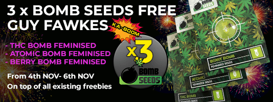 Guy Fawkes Gorilla Seeds